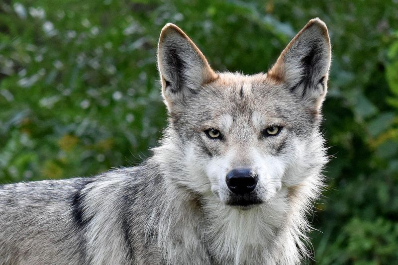 11_Gray Wolf dad Flint