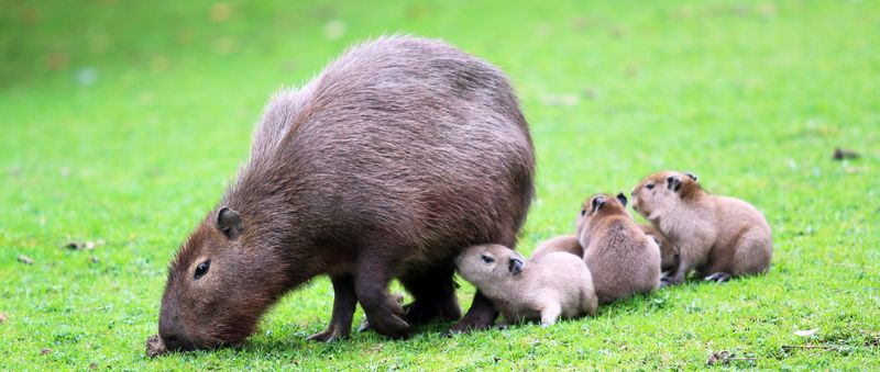(1)  Belfast Zoo keepers are hearing the 'pitty patter' of tiny webbed feet with the arrival of four capybara babies.