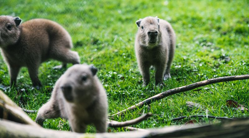 (6)  Belfast Zoo's capybaras share their home with some other South American 'amigos' including giant anteaters and Darwin's rheas.