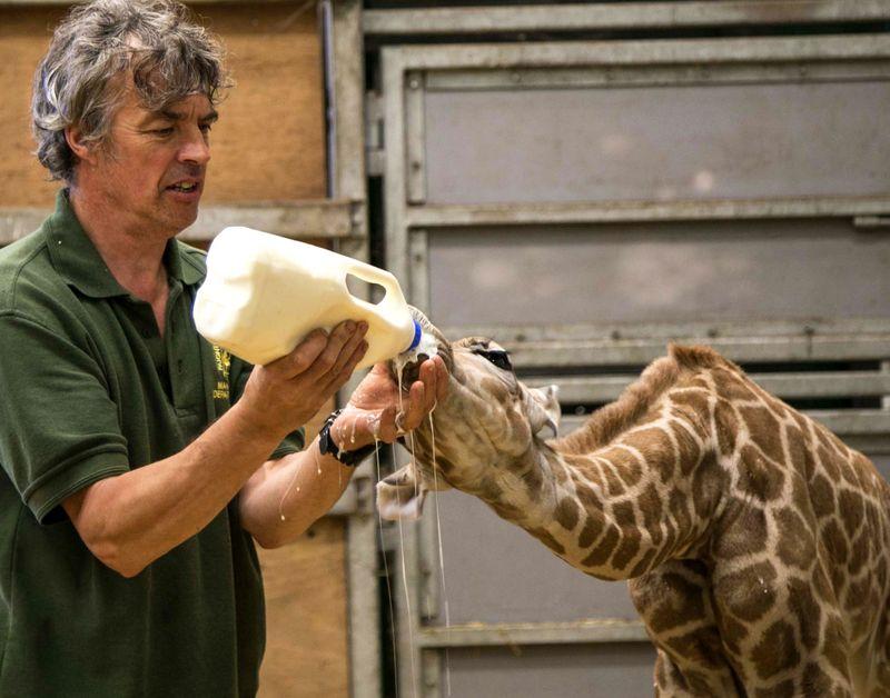 4_2016 05 PZ giraffe 3
