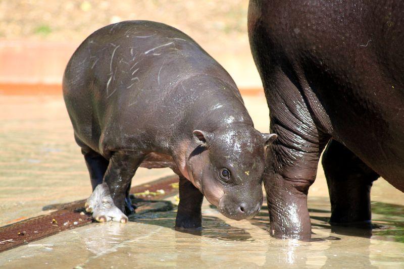 2_ZSI.cria.hipopotamo (8)