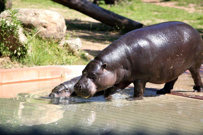 4_ZSI.cria.hipopotamo (6)