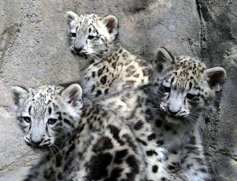 1_Snow leopard triplets on exhibit