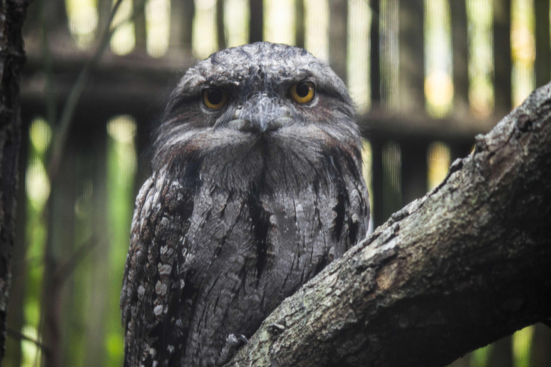 4_adult tawny frogmouth
