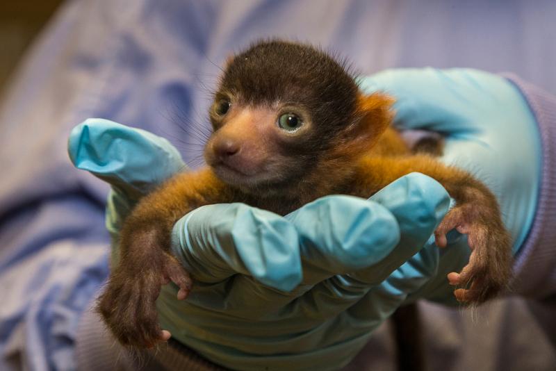 Red Ruffed Lemur (1)