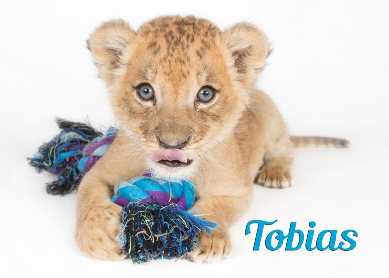 African lion cub-tobias