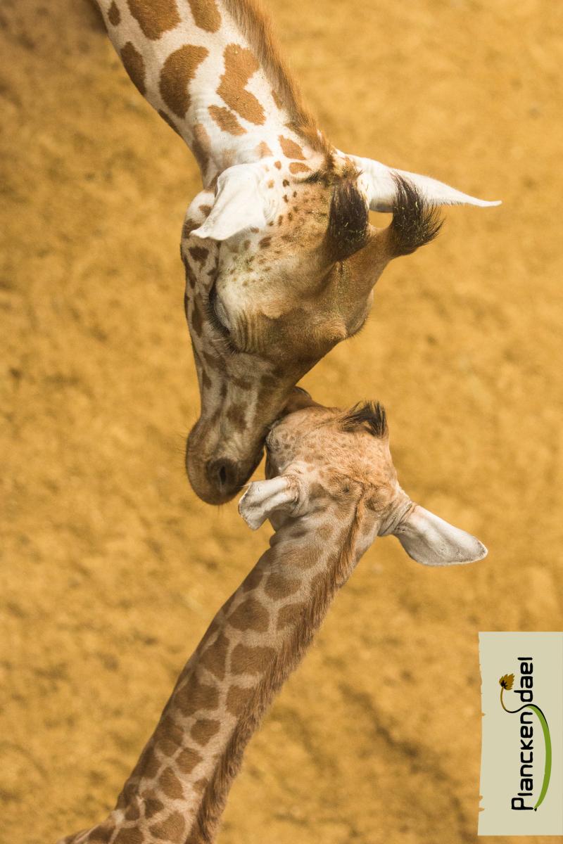 3_fotolink-girafR-3