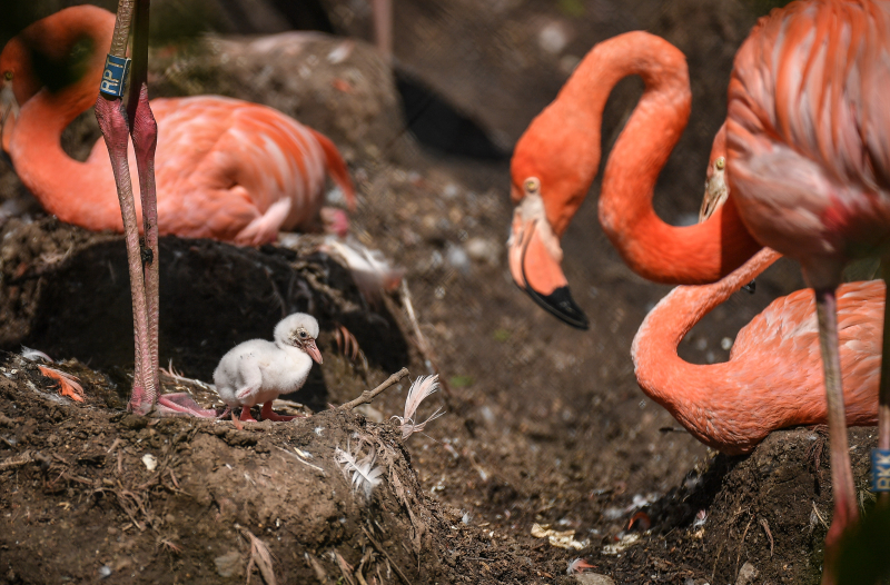2_Chester Zoo is tickled pink by new flamingo chicks  (4)