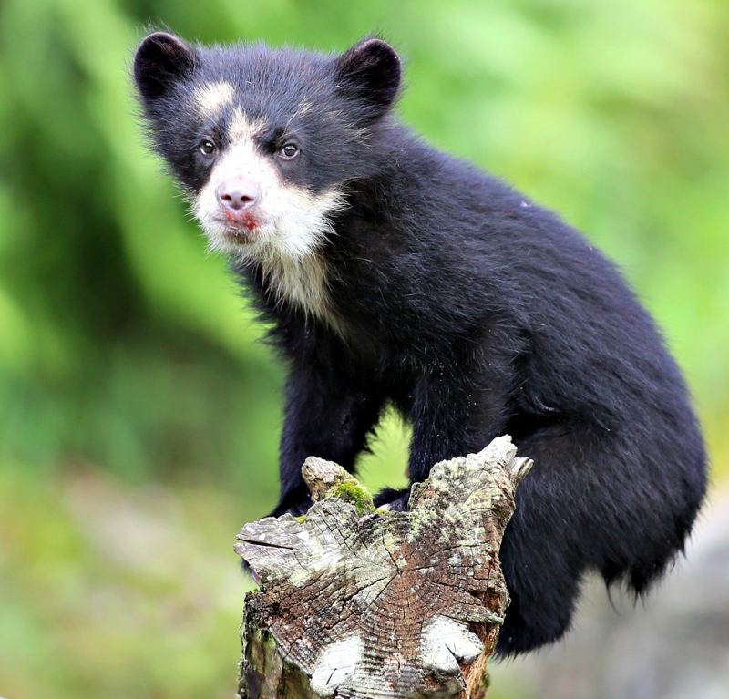 (2)  Andean bears give birth in dens and remain there with the cubs for the first few months.