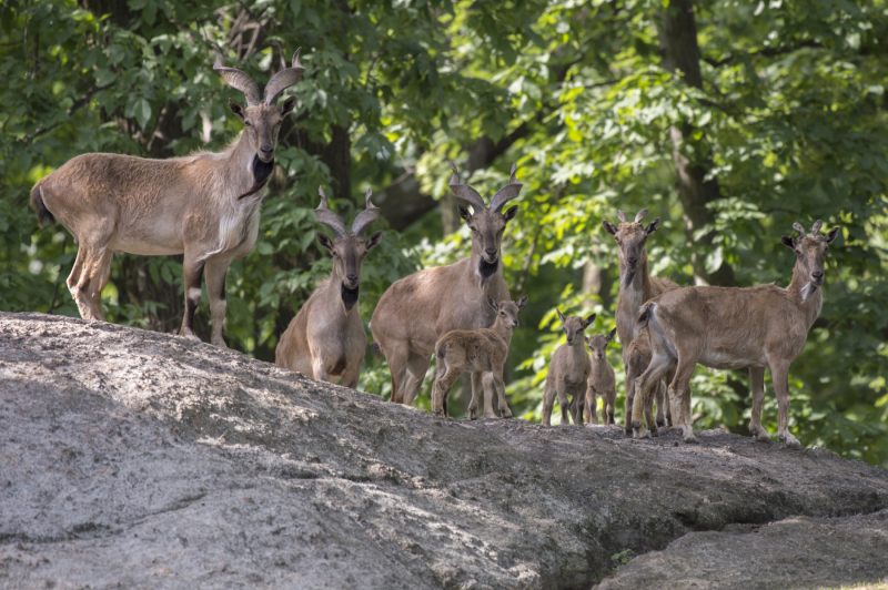 Turkmenian Flare Horned Markhor At Wcs S Bronx Zoo Zooborns