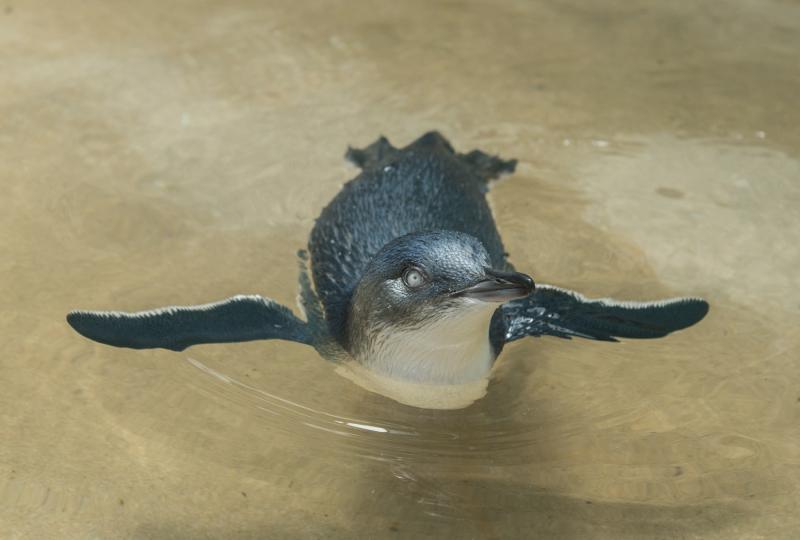 3_Julie Larsen Maher_7304_Little Penguin Chick_ABH_BZ_07 25 16