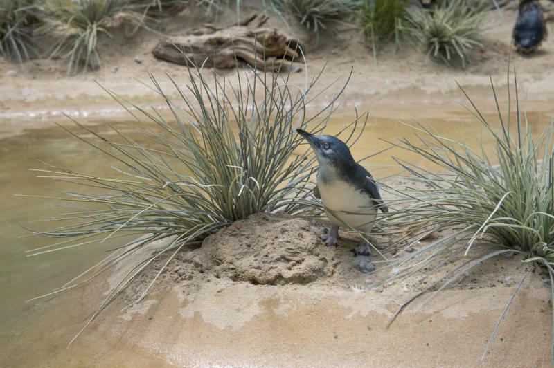 6_Julie Larsen Maher_7384_Little Penguin Chick_ABH_BZ_07 25 16