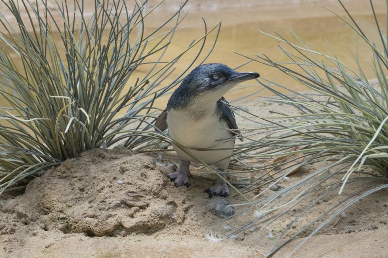 7_Julie Larsen Maher_7393_Little Penguin Chick_ABH_BZ_07 25 16