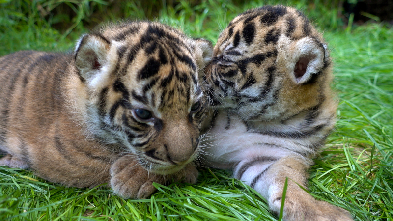 3_Tiger Cubs 2 - ZSL London Zoo