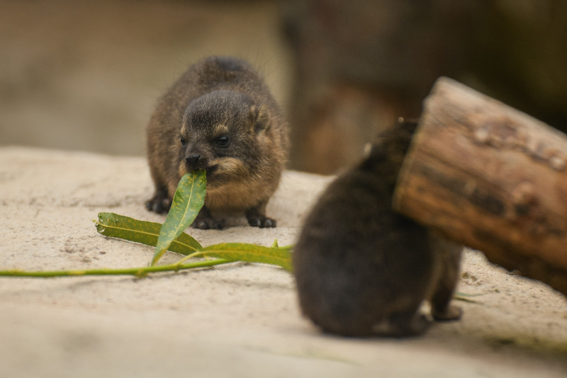 13_Four rock hyrax pups born at Chester Zoo (18)