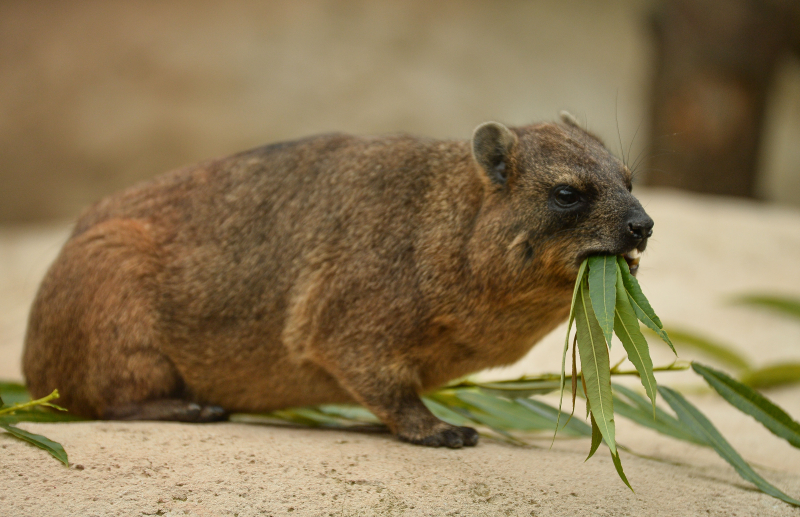 14_Four rock hyrax pups born at Chester Zoo (47)