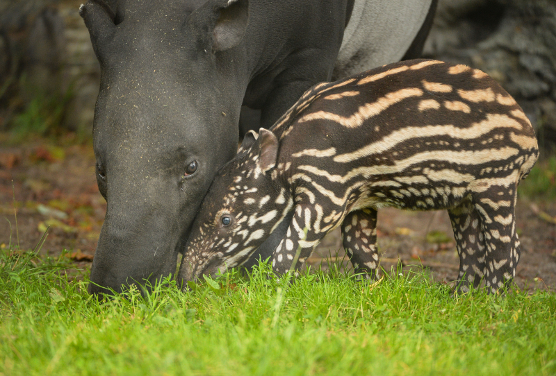 4_Solo the Malayan tapir calf goes on his first outdoor adventure at Chester Zoo (35)