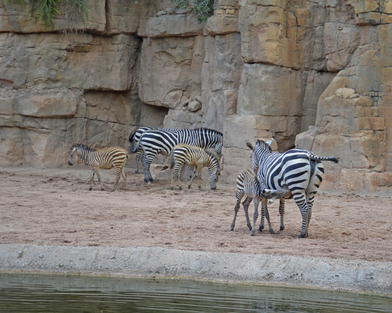 4_3 crías de cebra nacidas este año en BIOPARC Valencia 2016 (3)