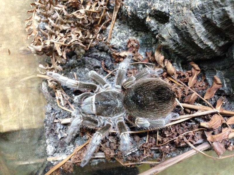 4_A gravid female Montserrat tarantula