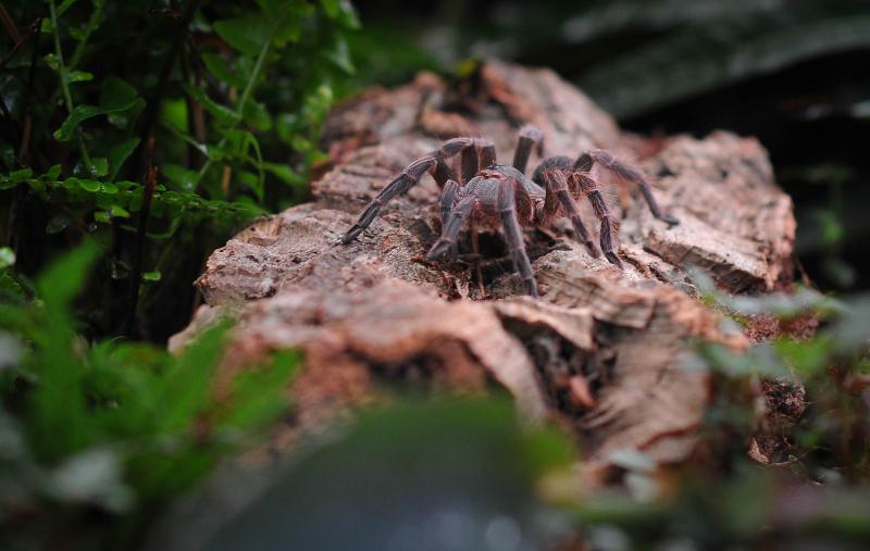 8_Adult Montserrat tarantula (4)
