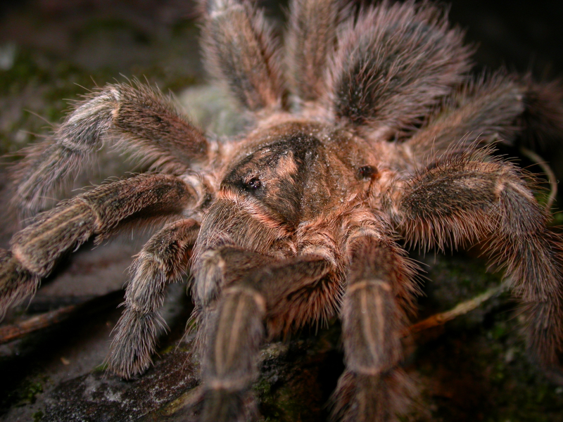 9_Adult Montserrat tarantula (1)