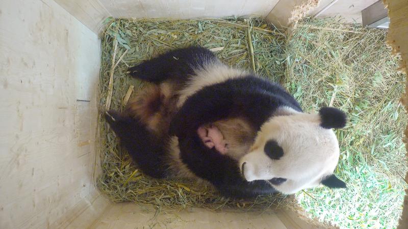 4_Pandazwillinge4