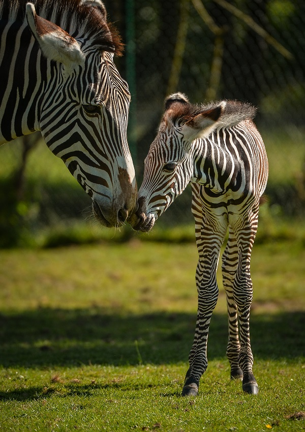 Adorable one-day-old zebra foal born at Chester Zoo to mum, Flo.  (50)
