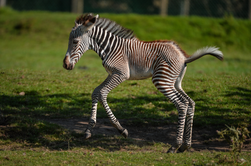 Adorable one-day-old zebra foal born at Chester Zoo to mum, Flo.  (39)