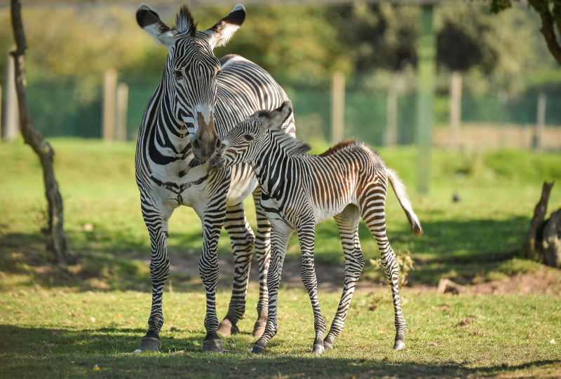 Adorable one-day-old zebra foal born at Chester Zoo to mum, Flo.  (18)