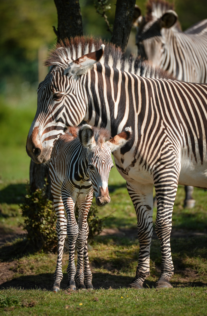 Adorable one-day-old zebra foal born at Chester Zoo to mum, Flo.  (28)