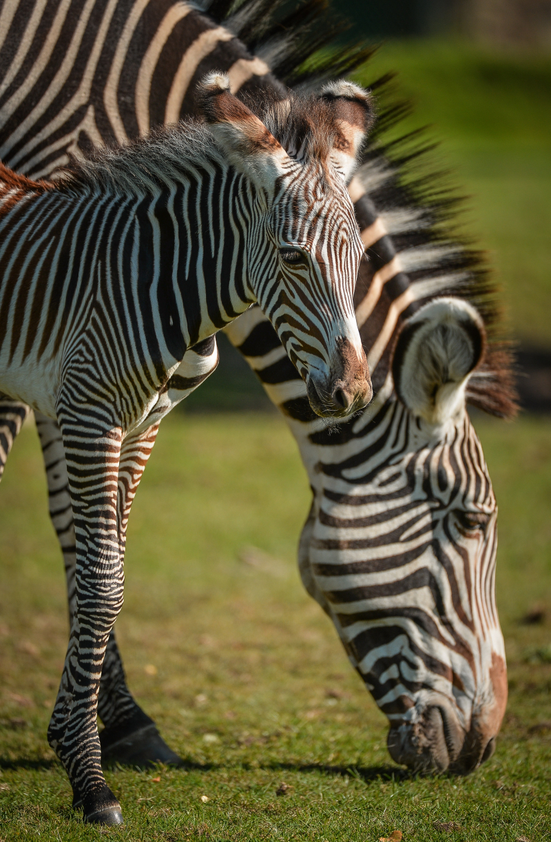 Adorable one-day-old zebra foal born at Chester Zoo to mum, Flo.  (34)