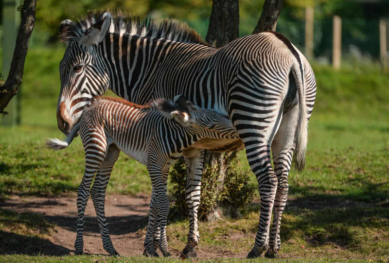 Adorable one-day-old zebra foal born at Chester Zoo to mum, Flo.  (37)