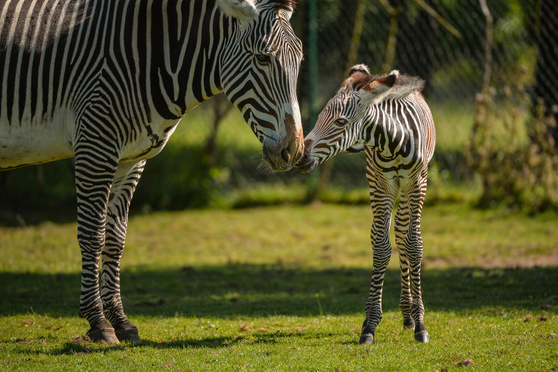 Adorable one-day-old zebra foal born at Chester Zoo to mum, Flo.  (51)
