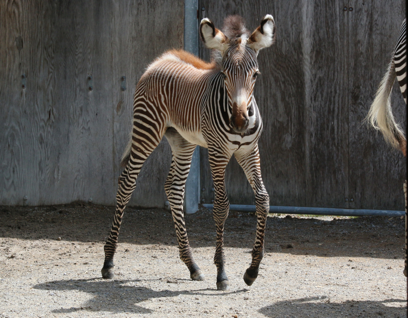 2_TZ_GrevysZebraFoal_Photo Credit - C.Thompson, Toronto Zoo - 6