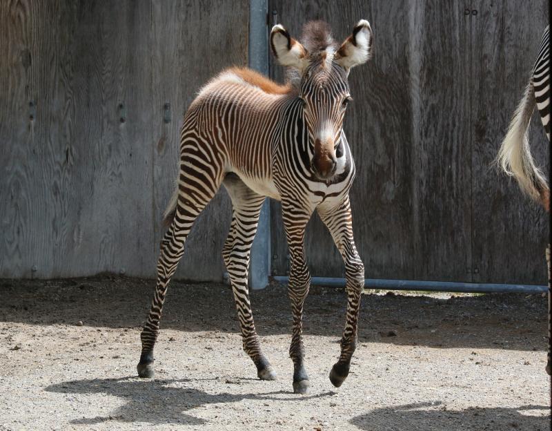 2_TZ_GrevysZebraFoal_Photo Credit - C.Thompson, Toronto Zoo - 6