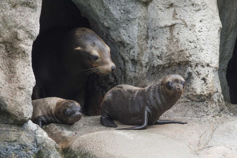 California Sea Lions Are Very Social Animals And Love To Interact With Other Members Of Group