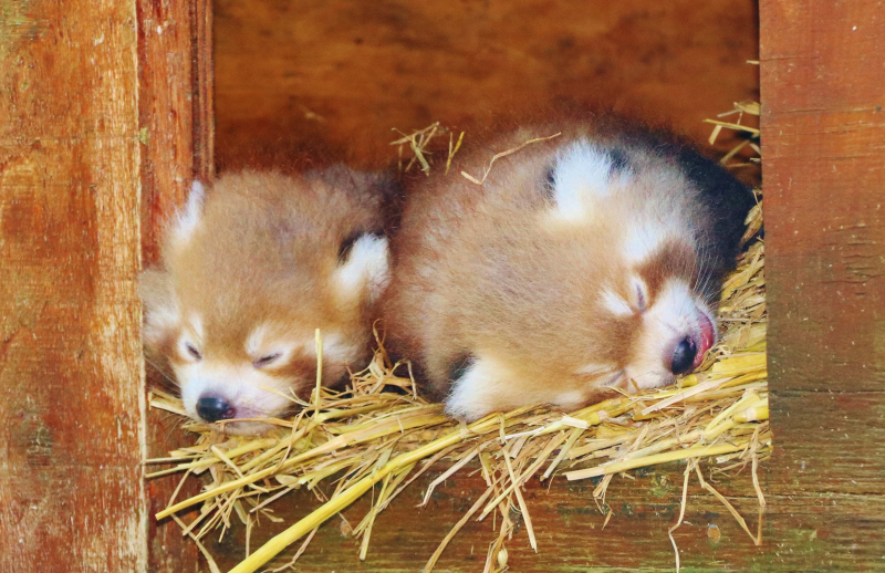 3_Red panda cub twins at Longleat PIC Ian Turner