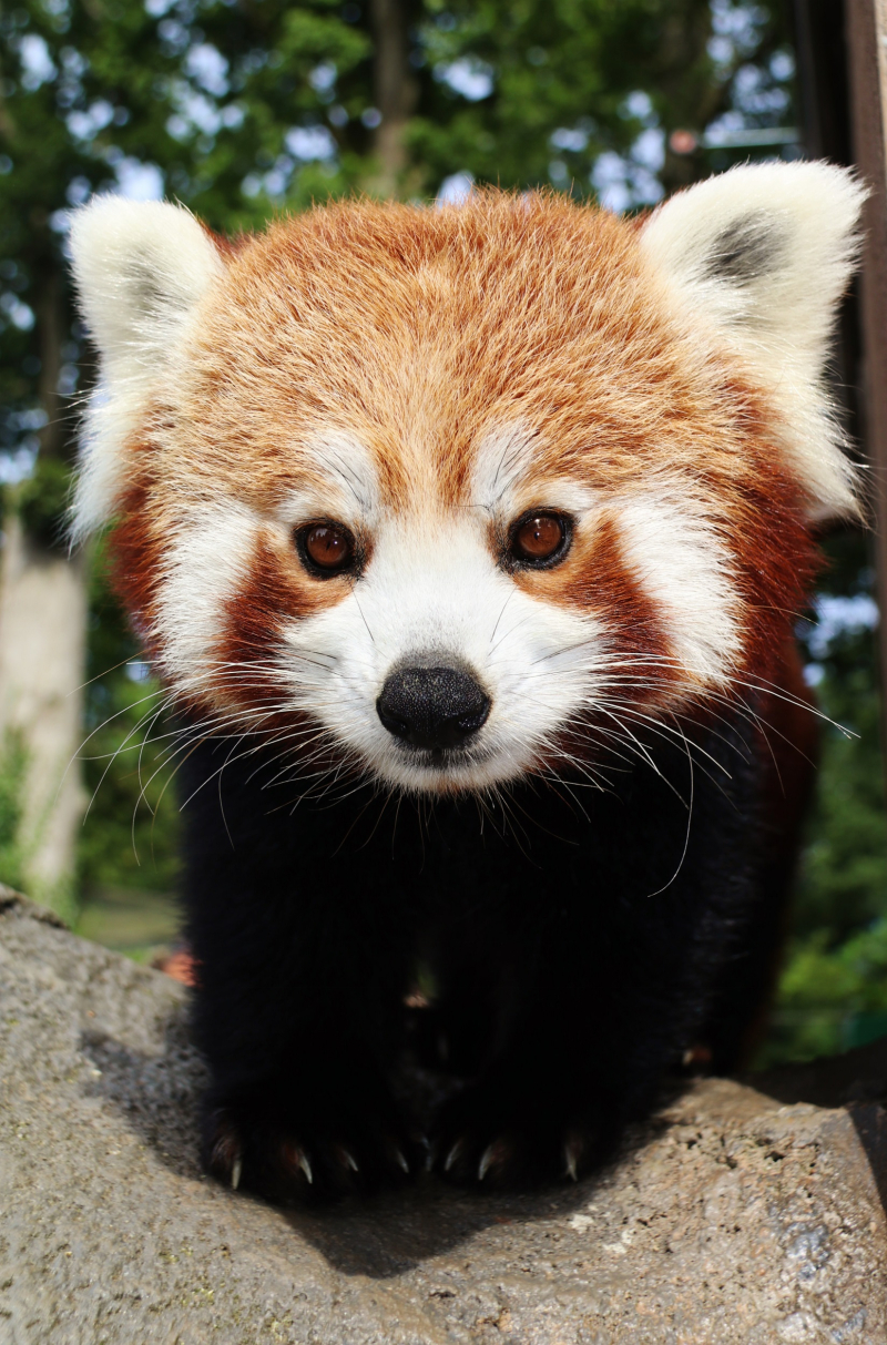 5_Red panda mum Rufina at Longleat PIC Ian Turner