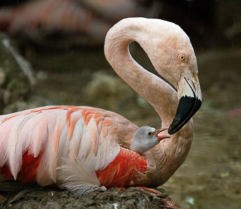 4_16_9_5_Flamingo chick_2_Mike_gilburt