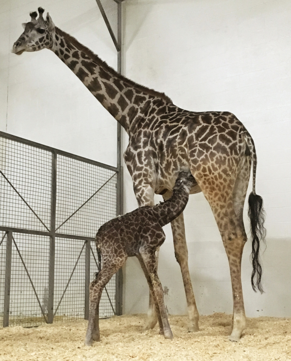 Giraffe Herd Is Two For Two At Cincinnati Zoo Zooborns