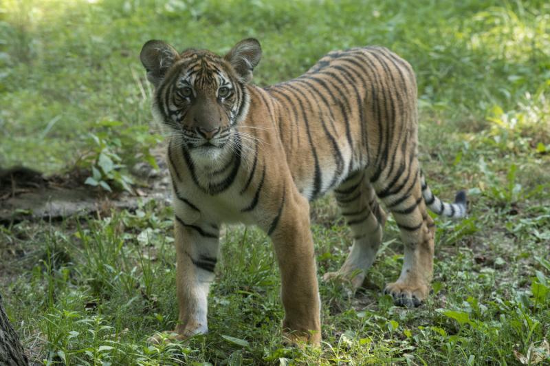 8_Julie Larsen Maher_4572_Malayan Tiger Cubs_TM_BZ_08 29 16