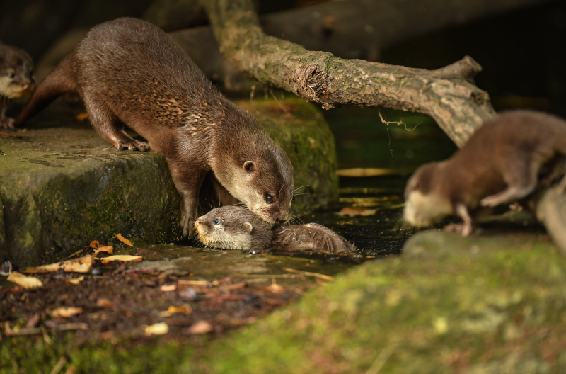 2_Chester Zoo's cute new otter pups given their first swimming lessons by mum Annie and dad Wallace (15) (1)