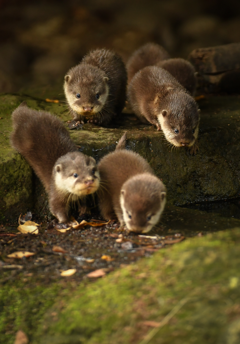 4_Chester Zoo's cute new otter pups given their first swimming lessons by mum Annie and dad Wallace (26)