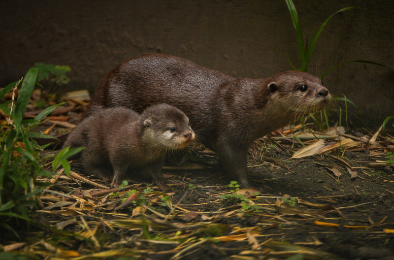 13_Chester Zoo's cute new otter pups given their first swimming lessons by mum Annie and dad Wallace (47)