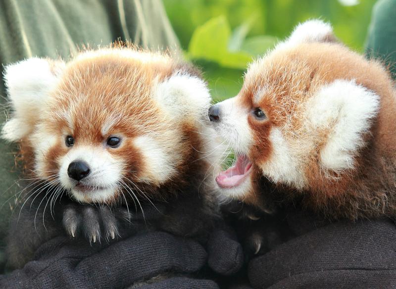 RGZ Red Panda Cubs 2016_final