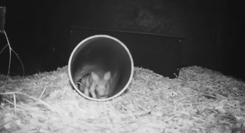 Chester Zoo breeds endangered jumping rat (1)