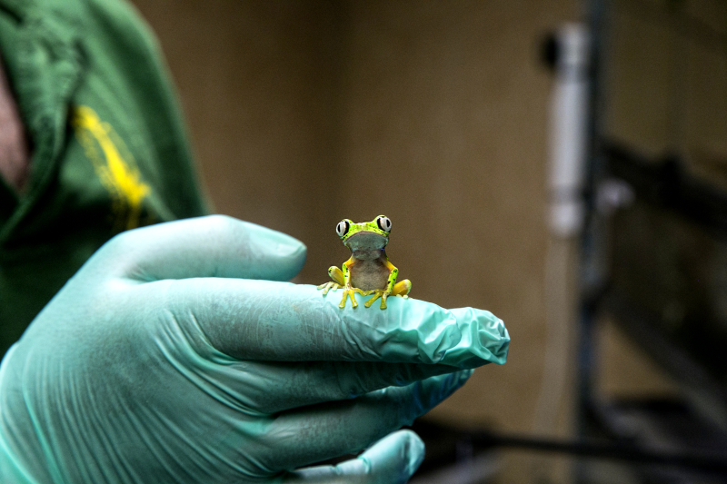 1_2016 09 PZ adult lemur leaf frog 2