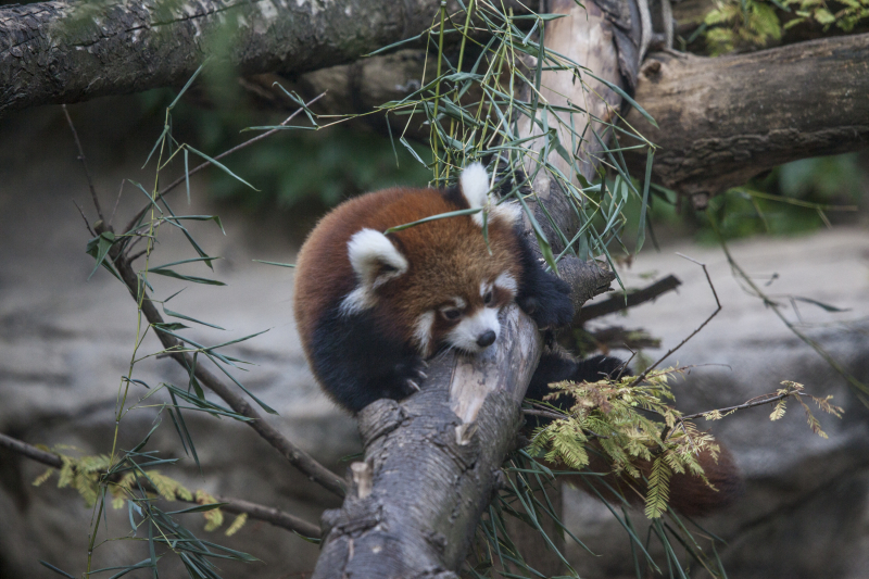 5_20161004_CB_Red Panda_sheffield_12