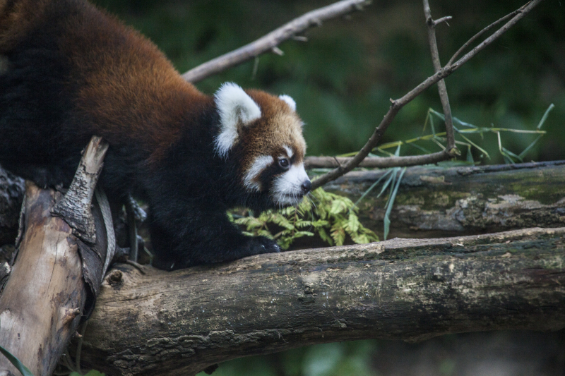 7_20161004_CB_Red Panda_waveland_17
