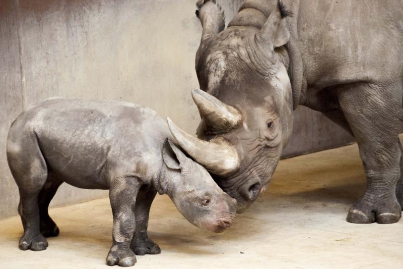 1_Rhino_calf_10-11-16
